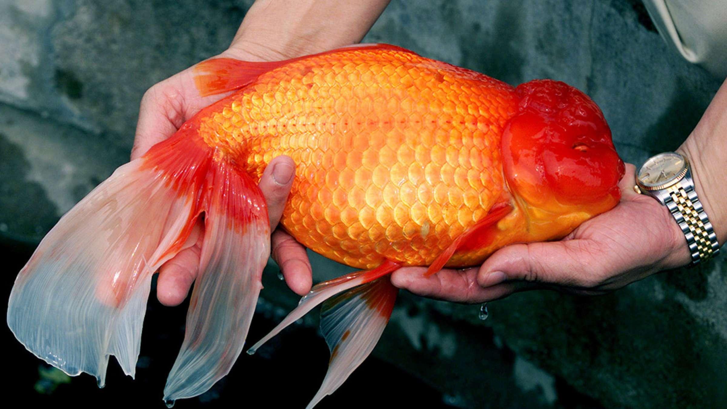 اخبار-تورنتو-ماهی-قرمز-سفره-نوروزتان-را-آزاد-نکنید