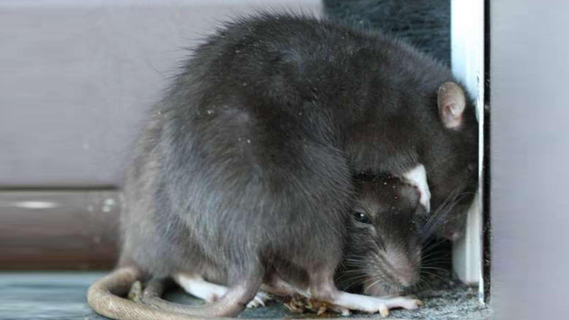میهمانی-موشها-در-محلههای-تورنتو-تورنتو-اخبار