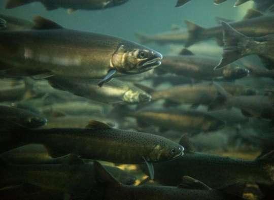 اخبار-کانادا-فاجعه-فقط-یک-هفتم-ماهیهای-آزاد-برای-تخمریزی-برگشتند