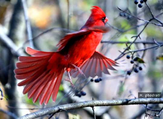 ghodrati-photo-Cardinal-touch-down