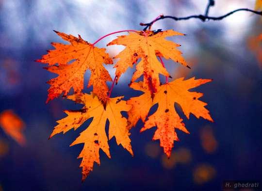 fall-leaves-in-violet زرد برگانی در بنفش