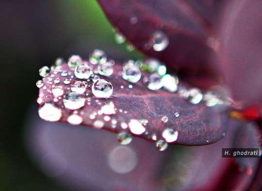 الماسهایی روی برگ