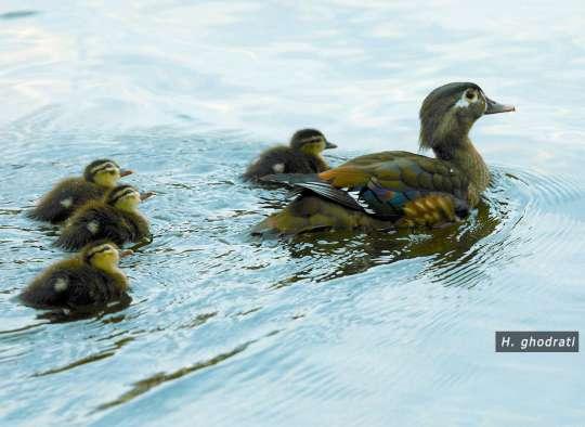 اردک و خانواده