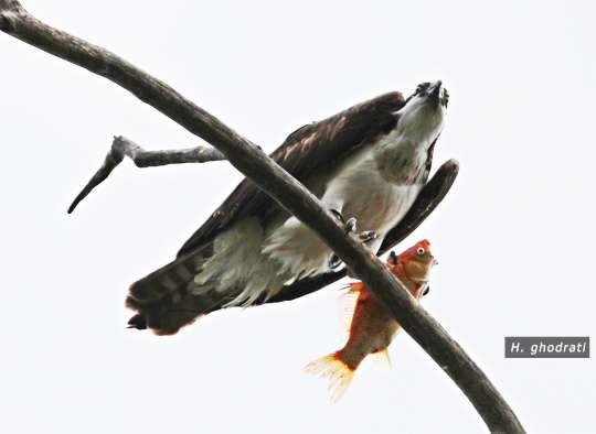 ماهی قرمزی در چنگال عقاب