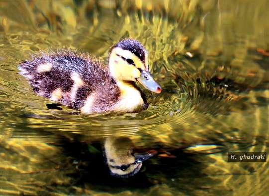 جوجه اردک زیبا