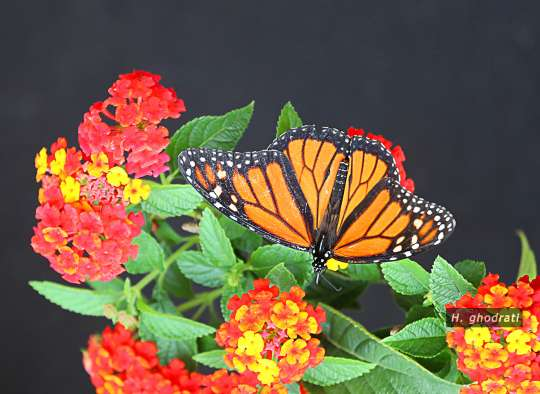شاپرک پروانهای