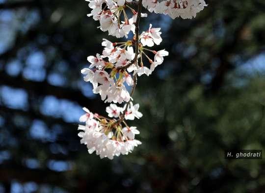 شکوفههای گیلاس
