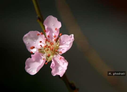شبنمی بر گلبرگهای صورتی