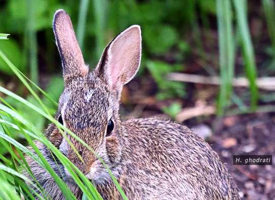 خرگوشک خجالتی