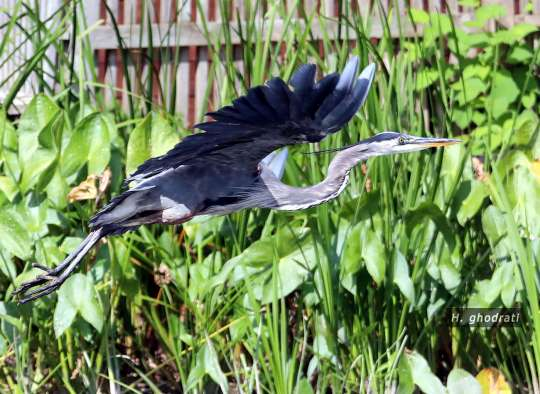 پرنده استارترک